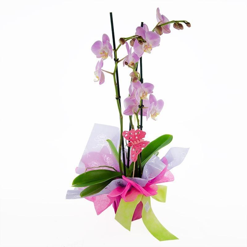 Planta de orquidea rosa