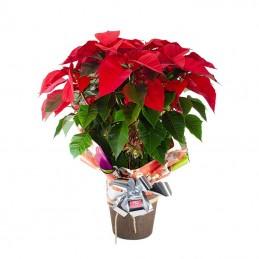 Planta de Navidad Poinssetia