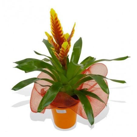 Planta vriesia
