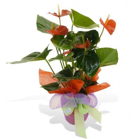 Planta de Anthurium